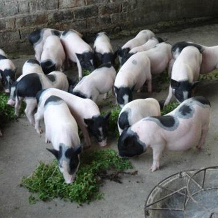 金普新区宠物猪-迷你小香猪出售批发采购