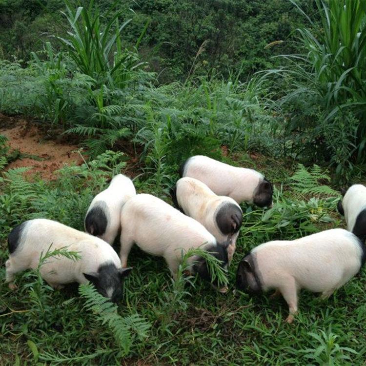 福州香猪宠物猪养殖场批发采购