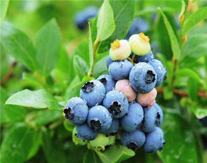 南充新品种蓝莓树苗种植销售