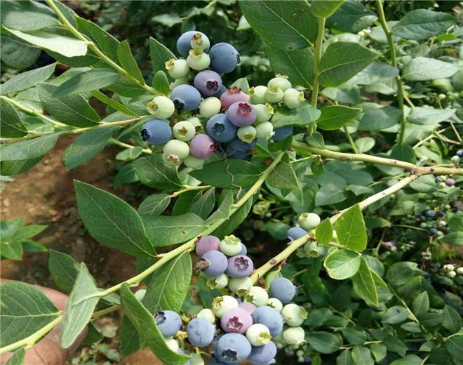 遂宁薄雾蓝莓苗种植批发基地