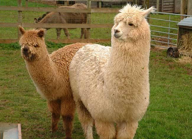 赣州羊驼出售价格同城