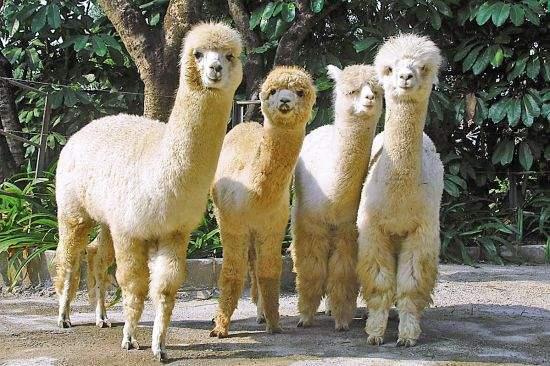 北辰羊驼品种介绍附近