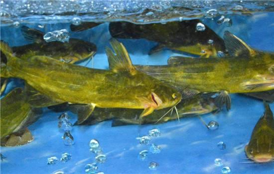 温县黄颡鱼淡水养殖