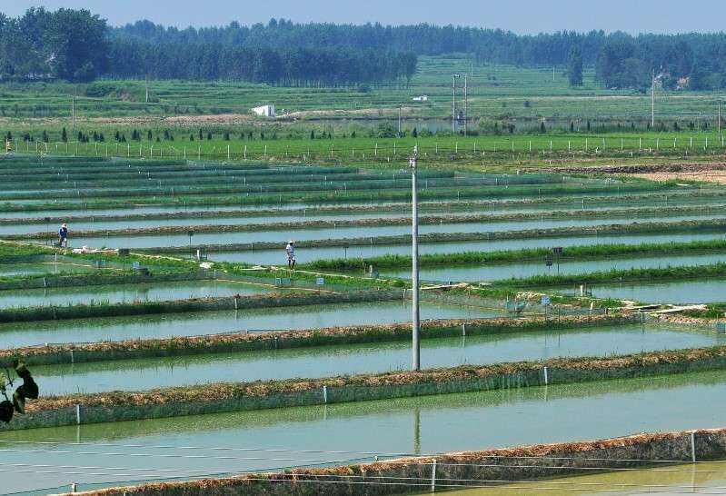 泗水黑鱼在那里进种苗价格