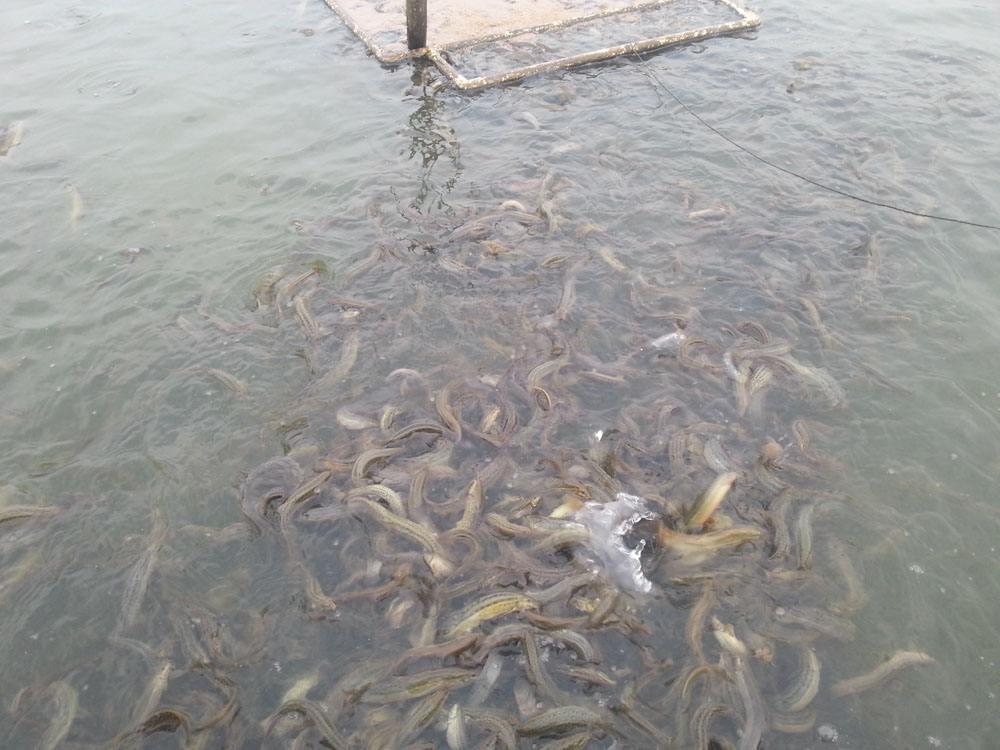 天元黑鱼在那里进种苗价格