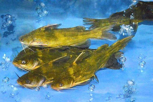 临翔土塘养殖黑鱼