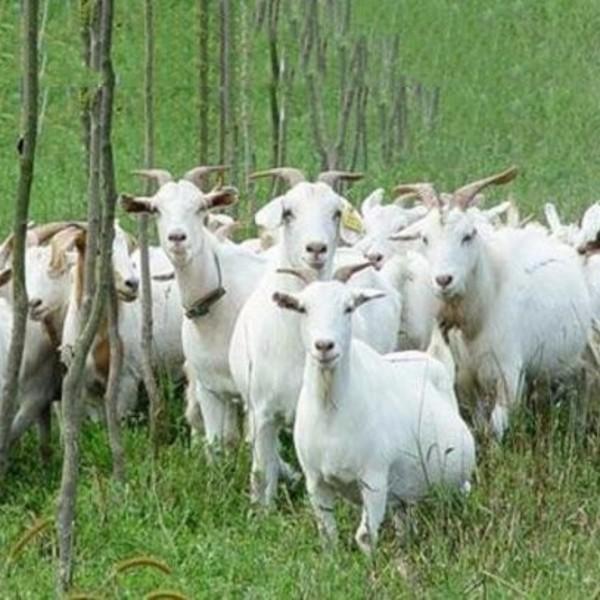 绿园奶山羊白山羊羊羔养殖基地