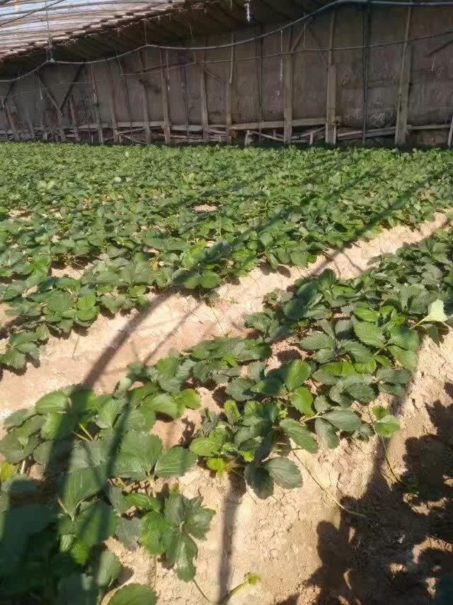 小白草莓苗.草莓苗根系发达