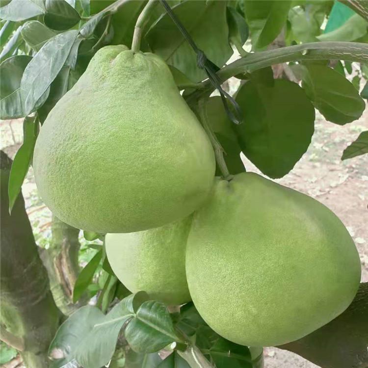 东莞石排专业提供泰国品种蜜柚苗什么时候成熟