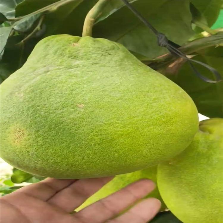 广东梅州泰国青柚(红宝石青柚苗)多少一棵