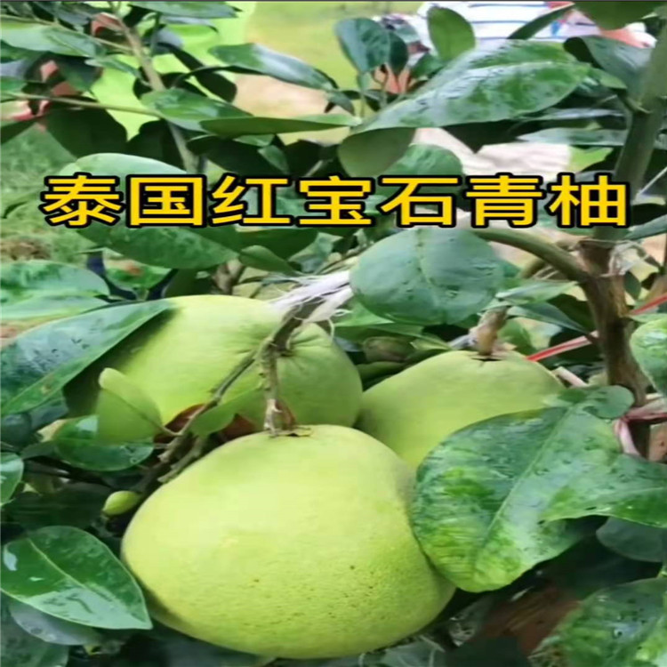 莲都泰国红宝石青柚多少钱一棵