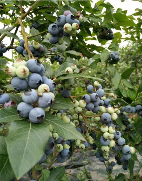 奥尼尔蓝莓苗供应基地,运城蓝莓苗供应基地