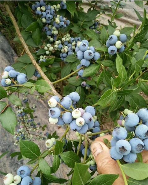 优瑞卡蓝莓苗哪里有出售,海东蓝莓苗哪里有出售