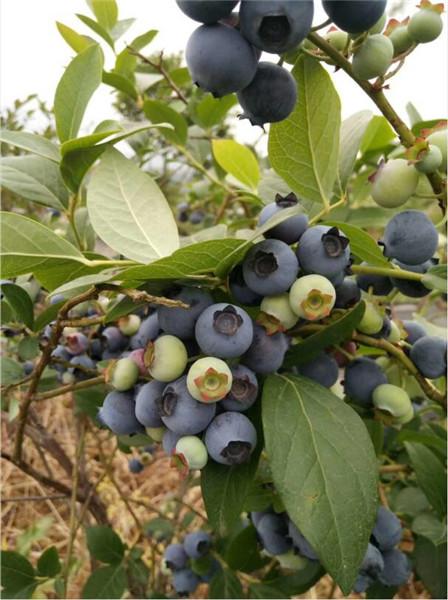 乌海蓝莓苗种植条件-盛景蓝莓有限公司