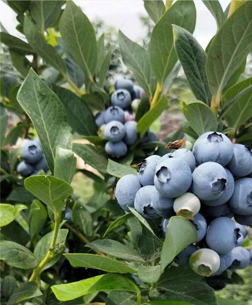 随州蓝莓苗一般种植几年苗-欢迎咨询