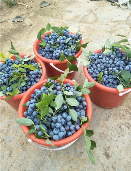 纯正蓝莓苗厂家价格,郑州蓝莓苗厂家价格