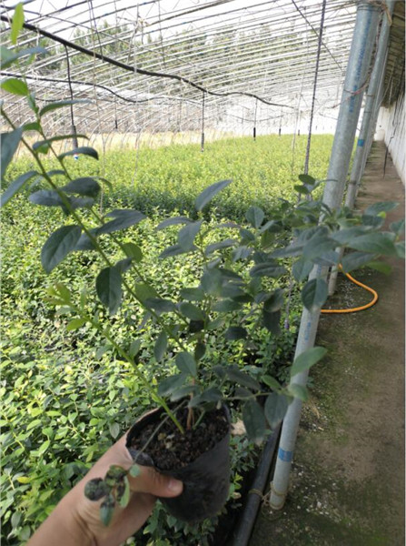 大棚蓝莓苗基地在哪里,天水蓝莓苗基地在哪里