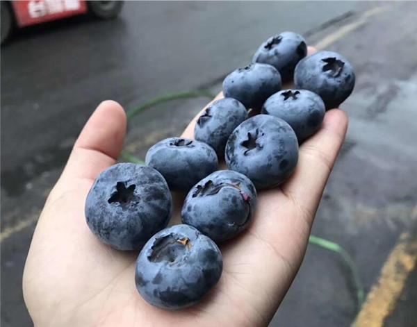 保定德雷珀蓝莓苗基地